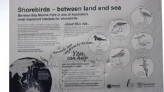 Bar-tailed Godwits (Limosa lapponica baueri), resting, informational signage, Moreton Bay, Australia
