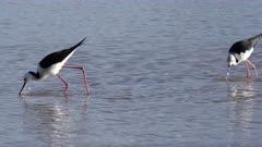Black-winged Stilt feeding (Himantopus himantopus), Moreton Bay, Australia (ofetn seen associated with other shorebirds such as Bar-tailed Godwit etc)