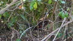 Lyrebird, Alberts, (Menura alberti), Foraging, Lamington, Australia