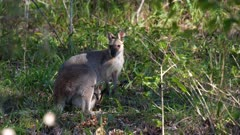 Pretty-Face Wallaby (Macropus parryi), with Joey,