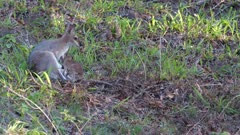 Pretty-Face Wallaby (Macropus parryi), clumsy little Joey falls over,