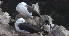 Albatross, Black-browed. Nesting. Falkland Islands. Fresh material from re-discovered rushes. QC for intended use !
