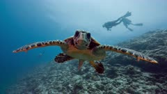 Large adult male Hawksbill Turtle swims towards and inspects camera
