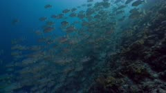 Spawning aggregation of Sailfin Snapper