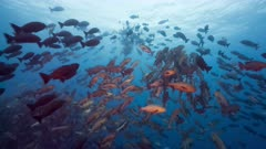 Red Snapper spawning aggregation and rushes with gamete release