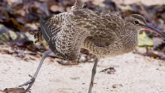 Whimbrel stretches wing and leg on beach