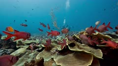colorful coral reef and fishes with underwater photographer in background