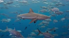 Gray Reef sharks swims fast through school of fish hunting