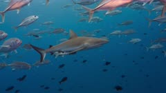 Gray Reef Shark revealed in school of silver fish
