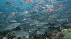 Travelling shot over shallow coral reef through huge school of silver fish