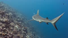 Gray Reef Shark patrols along edge of tropical reef