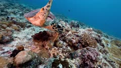 Hawksbill Turtle swims close to viewer over coral reef