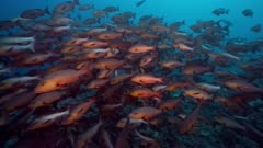 Large spawning aggregation of twin spot red snapper