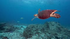 Hawksbill Turtle with badly damaged shell swims over coral reef