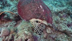 Close up of Hawksbill turtle with large part of shell missing swims over reef part 2