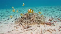 Anemonefish family and host anemone