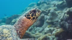 Close up of swimming Hawksbill Turtle