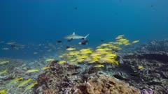 Grey reef shark swims above pristine reef in Kiribati with yellow school of fish