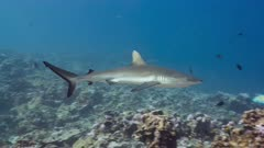 Grey Reef Shark swims at and then past viewer in Phoenix islands Protected Area