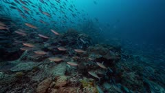 Huge school of Fusiliers swim towards camera over deep coral reef as they are hunted