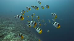 Spawning aggregation of Butterflyfish