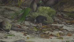 Micronesian Megapode foraging for food on beach