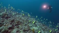 Underwater cameraman films spawning aggregation of Moorish Idols