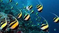 Underwater cameraman and Spawning aggregation of Moorish Idols