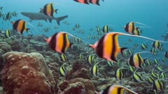Shark hunts amid Spawning aggregation of Moorish Idols