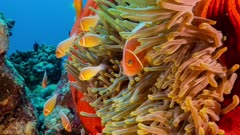 Close up of bright red anemone and resident family of fish