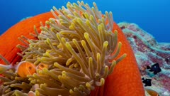 Large bright red anemone with family of fish