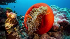 Wide shot of bright red anemone with family of fish