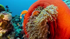 Medium shot of bright red anemone with family of fish