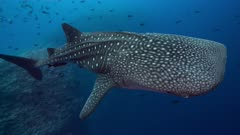 Whale shark swims towards and under camera very close