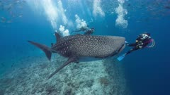 Scuba divers swim with Whale Shark in tropical blue water