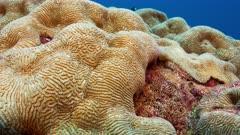 Static shot of Brain coral