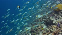 Spawning aggregation of Pacific Long-nose Parrotfish