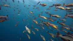 Fish joining huge spawning aggregation of twin spot snapper