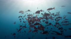 Twin spot snapper spawning aggregation in the early morning light