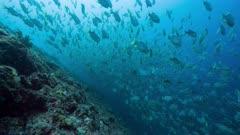Huge spawning aggregation of Sailfin Snapper in Palau