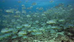 Huge spawning aggregation of Sailfin Snapper at their resting area in Peleliu