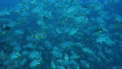 Medium shot of Sailfin Snapper spawning aggregation