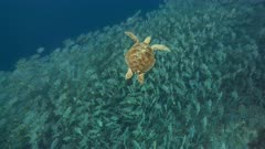 Turtle swims over enormous aggregation of Sailfin Snapper in Palau