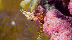 Super Macro shot of Marble Shrimp on colourful coral