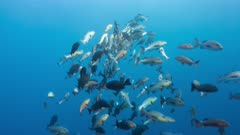 Wide shot of Red Snapper spawning aggregation with spawning rushes and clouds of gametes being eaten by black snapper