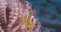 Close up shot of small clownfish swim among tentacles of anemone