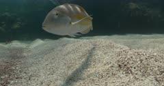 Puddingwife Wrasse swims close to camera in Bermuda