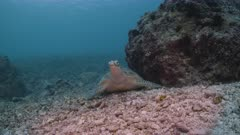Wide shot of large alert Green Turtle resting on sea bed