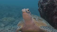 Medium shot of large alert Green Turtle resting on sea bed