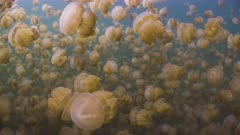POV travelling through dense swarm of Golden Jellyfish in Palau Jellyfish lake